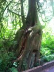 Cedar grows out of an ancient stump, McLane Creek Nature Trail